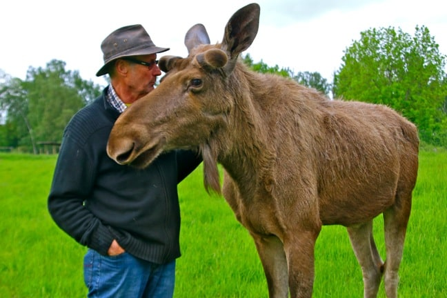 "Bo Alexandersson, the ""Moose Whisperer"" of Wrågården Farm, Raises Moose in Sweden"