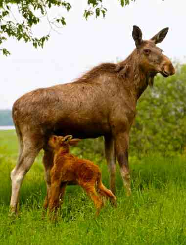 Twin Baby Moose Nursing Their Mama at Wragarden Farm, Sweden