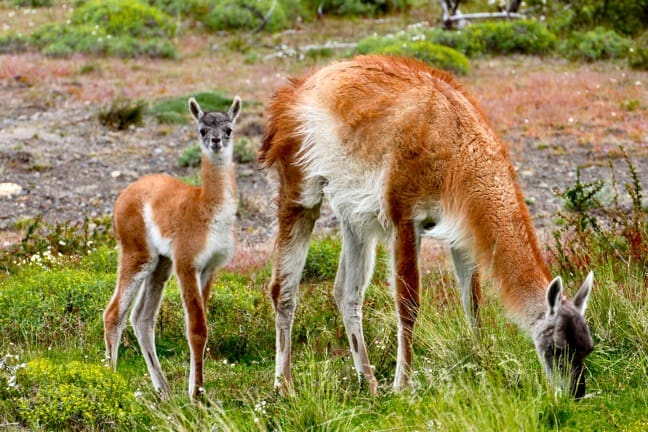 Mother and Baby Guanaco in Torres del Paine National Park, Chile