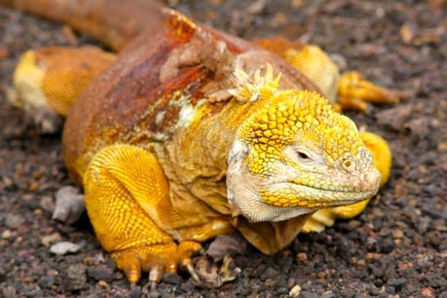 Land Iguana, Santa Cruz, Galapagos Islands