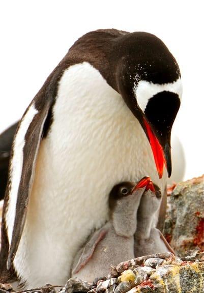 Baby Penguins Feeding in Antarctica