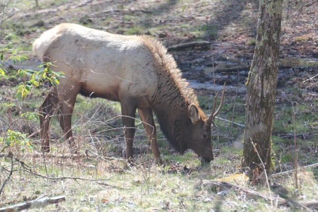 Things to do around Asheville NC: See Grazing Cataloochee Elk