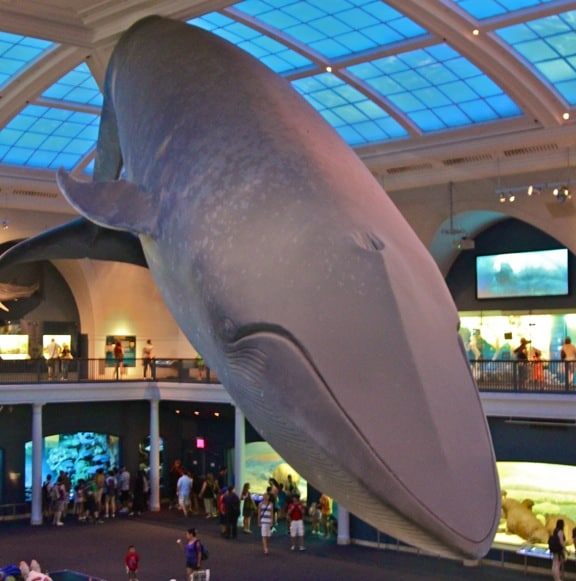 Blue Whale Model in the Milstein Family Hall of Ocean Life