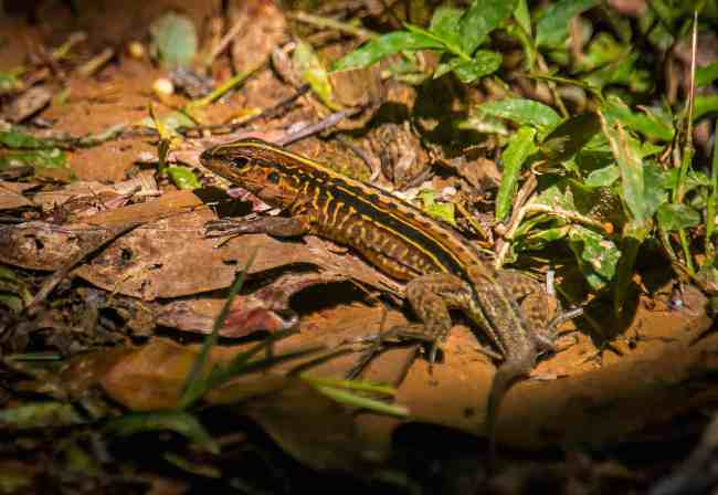 Belize Whiptail at Cockscomb_Basin_Wildlife_Sanctuary