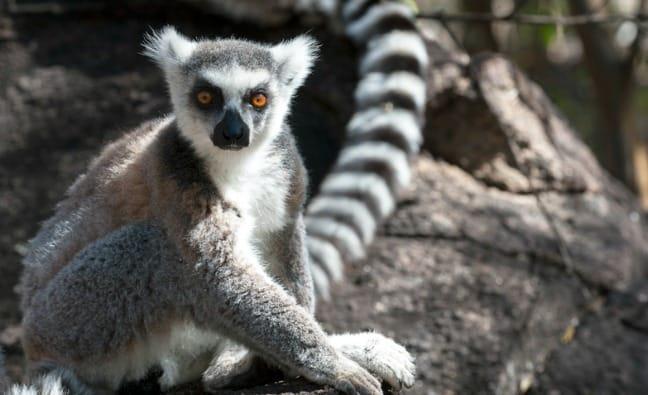 Madagascar King Julien Ringtail Portrait