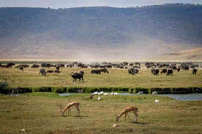 Ngorongoro Conservation Area: Gazelles and Buffalo