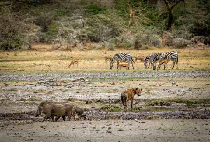 Warthogs & Hyena at a Ngorongoro Conservation Area Watering Hole