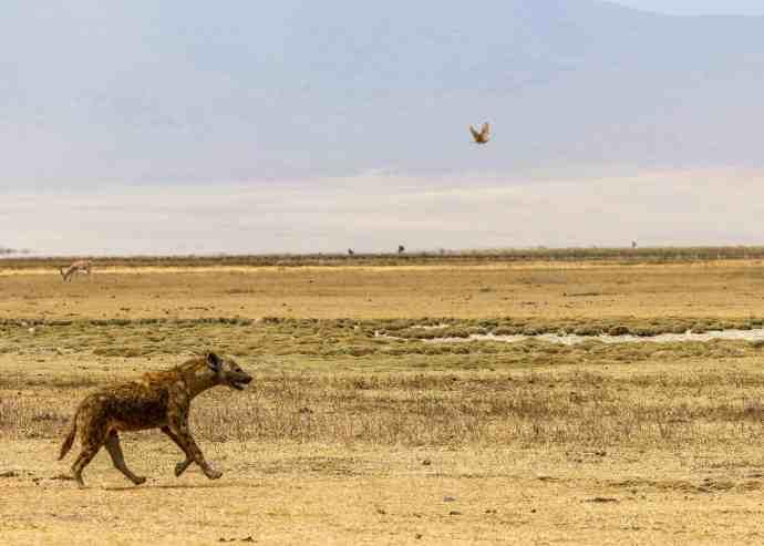 Hyena Running in Ngorongoro Conservation Area