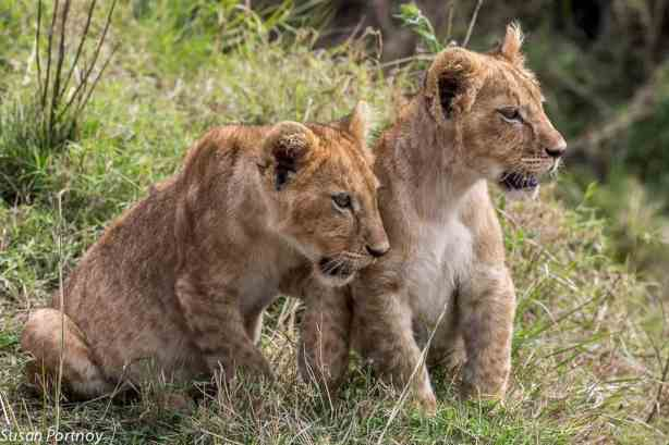 Walking With Lions in Africa