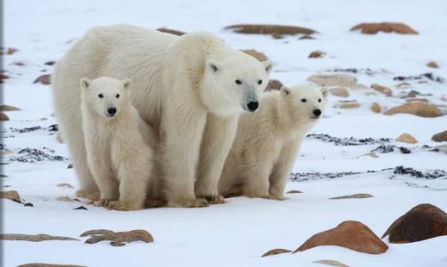 Mama Polar Bear & Cubs in Churchill, Manitoba