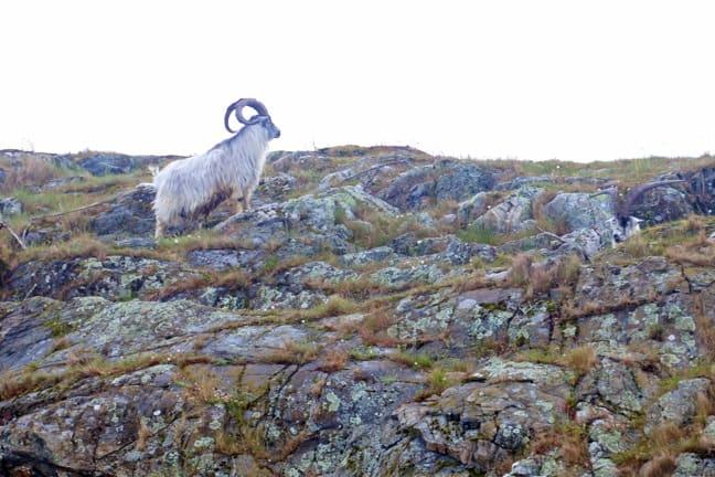 Ram in Kosterhavet National Park, Sweden