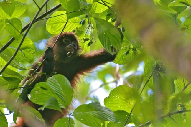 Spider Monkey in Corcovado National Park
