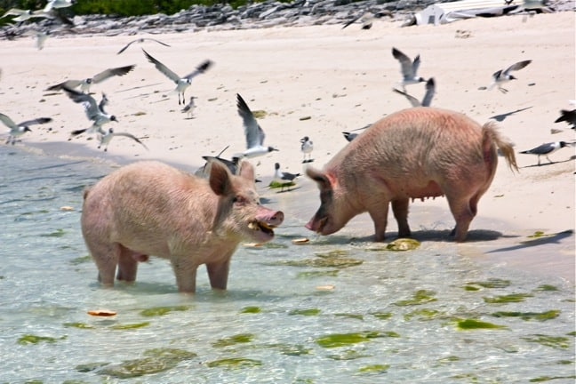 A Flock of Seagulls Tries to Hone in on the Pigs' Action... I Ran