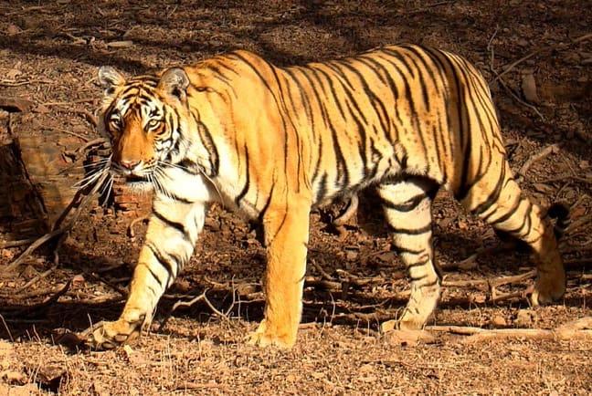 Tiger in India's Ranthambhore National Park by Bjørn Christian Tørrissen
