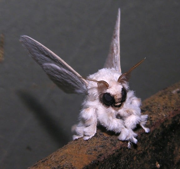 Weird Insects Around The World, Venezuelan Poodle Moth
