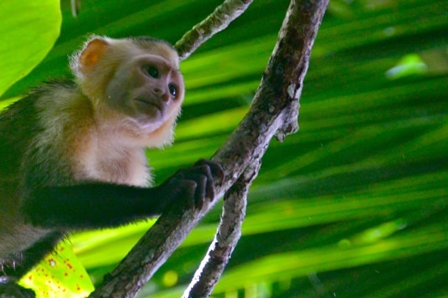 White-Faced Capuchin Monkey in Corcovado National Park