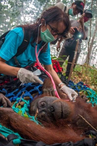 Yayasan IAR Indonesia monitoring orangutan's heartbeat