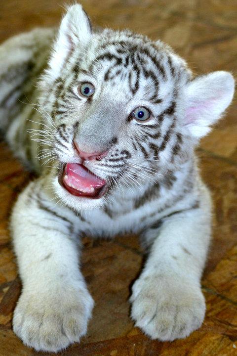 White Bengal Tiger Life Cycle
