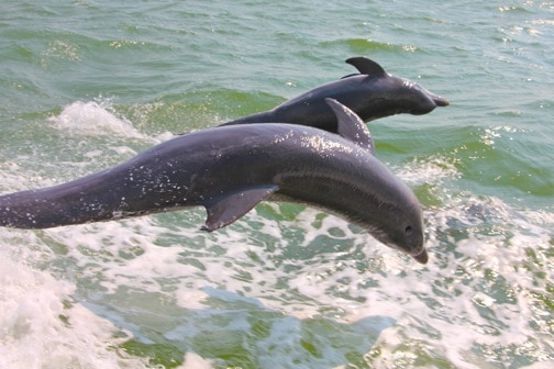 Dolphins Jumping in Pine Island Sound off Sanibel Island, Florida