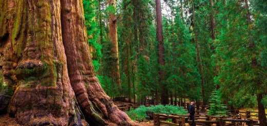 General Sherman, a Californian giant sequoia, is the biggest tree in the world. For a brief period in the late 19th century it was renamed Karl Marx.