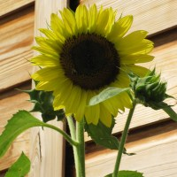 A Sunflower Summer