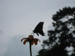 The Butterfly likes Tithonia (Mexican Sunflower). Image of our frequent flyer sipping Nectar and a cloudy Carolina Sky.