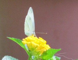 White Wings Yellow Bloom