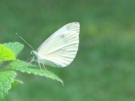 white butterfly, dark spots