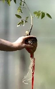 http://greenhousebay.ru Как сделать кашпо с автополивом из бутылки Корни томата