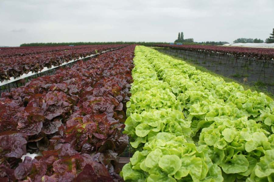 15 best greenhouse winter crops greenhouse lettuce, how to grow lettuce