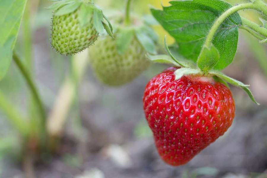 green strawberries 15 most profitable high tunnel winter crops