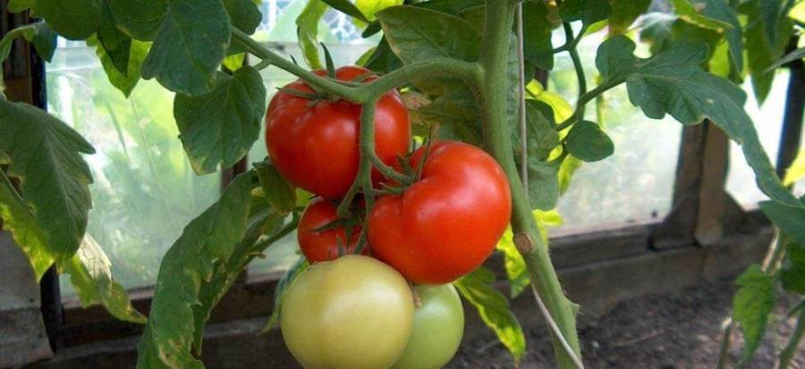 When to grow tomatoes in a greenhouse, Well this is a question which is asked allot of time, The perfect time to grow tomatoes in an unheated greenhouse depends on the region in which you are growing the tomatoes