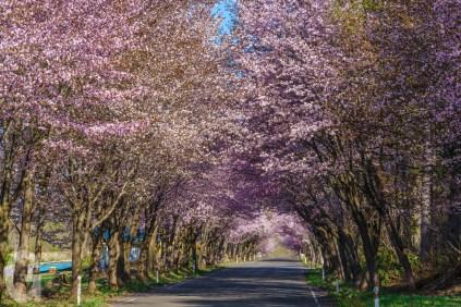 運動公園付近の桜並木