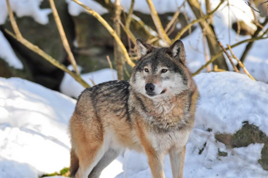 Wolf of snow