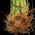 Betterdecor-10-Stalks-of-48-Inches-Straight-Lucky-Bamboo-Exclusive-Design-By-Betterdecor-0