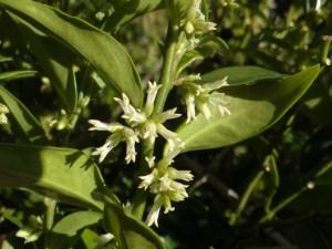 Sarcococca - scented shrub