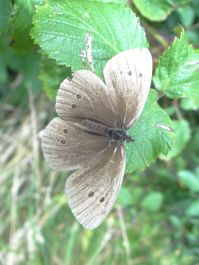 Rather faded Ringlet butterfly at Llangrannog