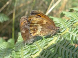 Mating Gatekeeper butterflies at Llangrannog