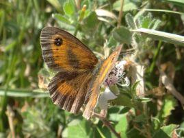 Gatekeeper butterfly at Llangrannog