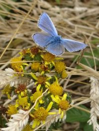 Common Blue butterfly on Ragwort flower at Mwnt