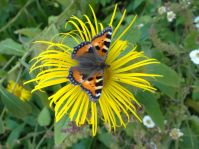 Small Tortoiseshell on Inula flower at Llanerchaeron