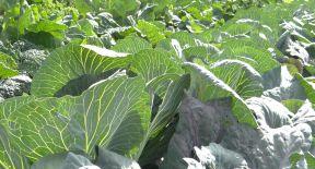 Cabbage veins