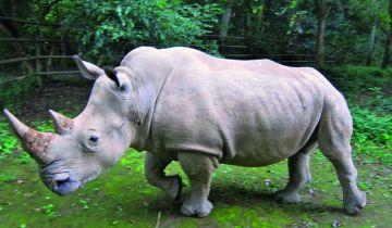 Ελπίδες να σωθεί το είδος του λευκού ρινόκερου