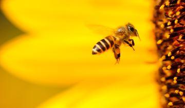 Οι μέλισσες κινδυνέυουν! Μάθε πως μπορείς να τις βοηθήσεις