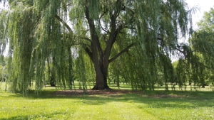 Willow tree for shades