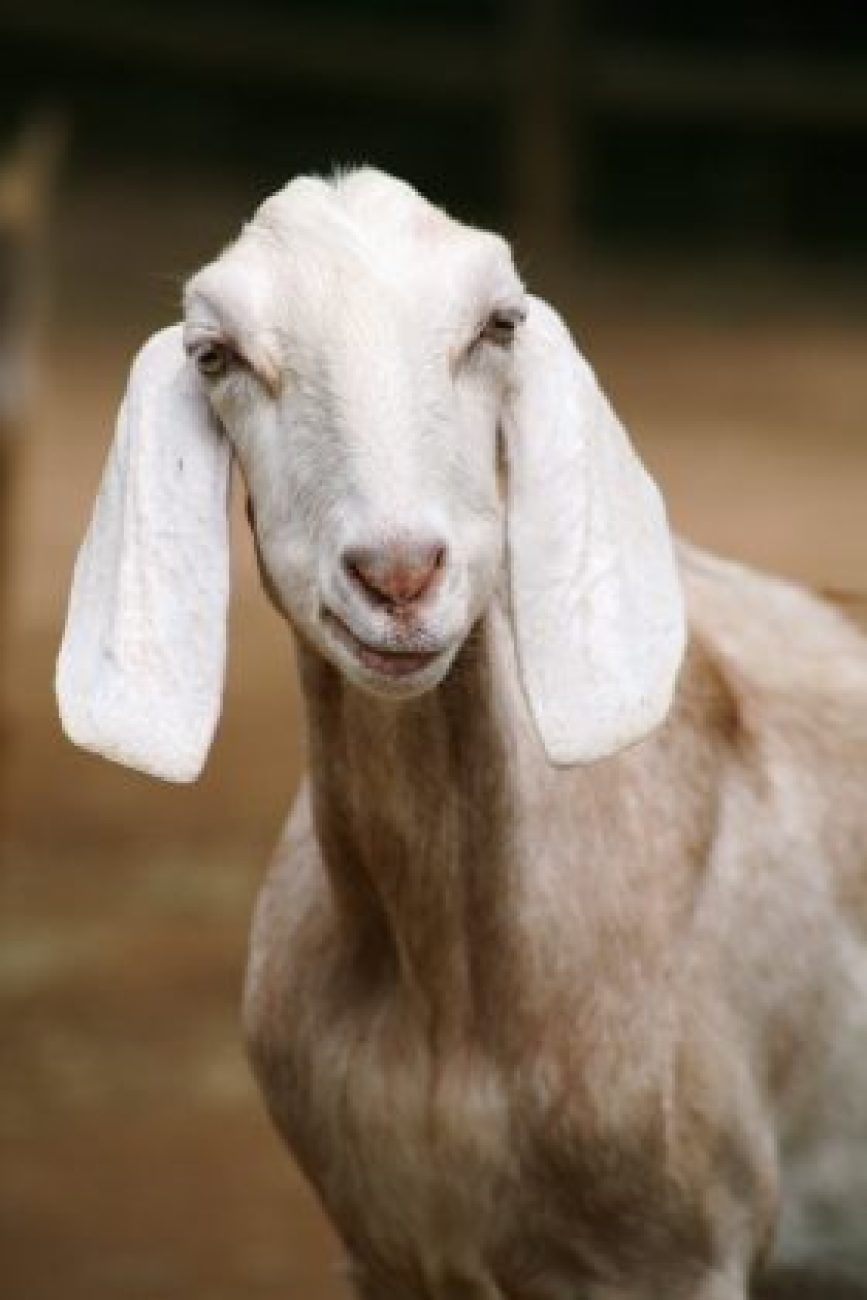 Local Goat Farm's Commitment to Sustainable Practices Achieves Green Certification