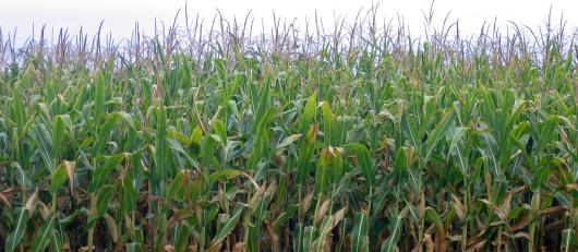 field of corn?