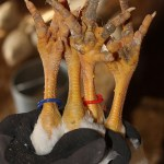 Sorting, Banding & Culling Chickens