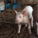 The $200 Pig Challenge