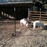 Feeder Pig Digs